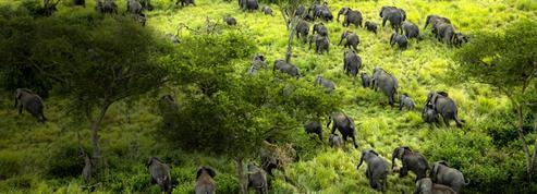 En République démocratique du Congo, le grand retour des éléphants