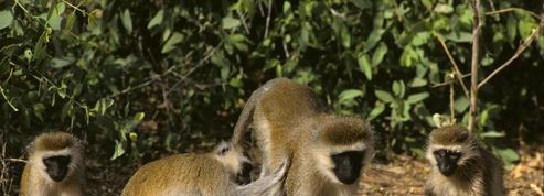 Des petits singes apportent la mort dans une paisible ville allemande