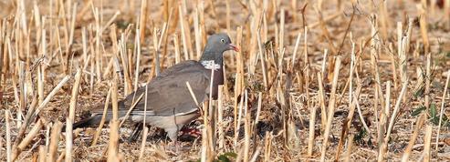 Le pigeon ramier, nouveau fléau francilien pour l'agriculture