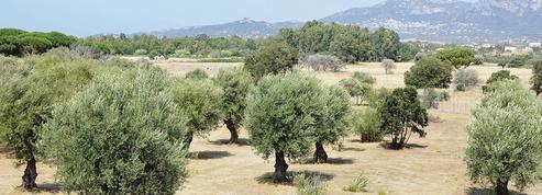 En Corse, les oliviers au cœur de la polémique