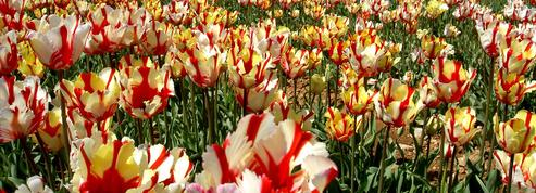La tulipe, fleur emblématique réinventée chaque printemps