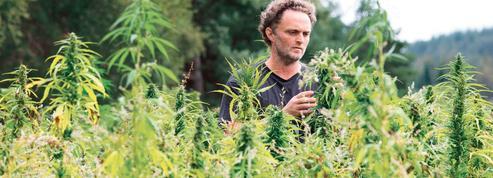 En Creuse, les plants de cannabis côtoient désormais le blé et les vaches