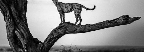 Dans l'objectif de Laurent Baheux, au cœur de la savane en noir et blanc