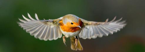 Les oiseaux migrateurs voient-ils le champ magnétique terrestre?
