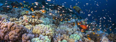 Le bilan de santé très contrasté des coraux français
