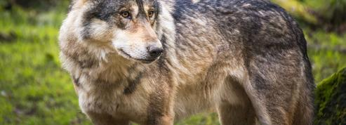 Plus nombreux, les loups causent de grands dégâts