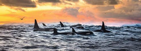 Les orques sont unies par de profonds liens d'amitié