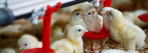Les aviculteurs sceptiques après l'interdiction du broyage des poussins mâles