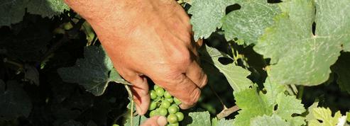 Après la Champagne, le mildiou s'attaque au vignoble alsacien