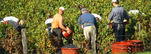 Avant les vendanges, les vignerons tentent de s'adapter aux règles sanitaires