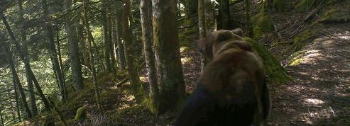 Comment l'ours et le loup ont appris à ne plus avoir peur de l'homme