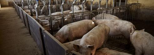 Veaux, vaches, cochons… les animaux d'élevage oubliés du Parlement