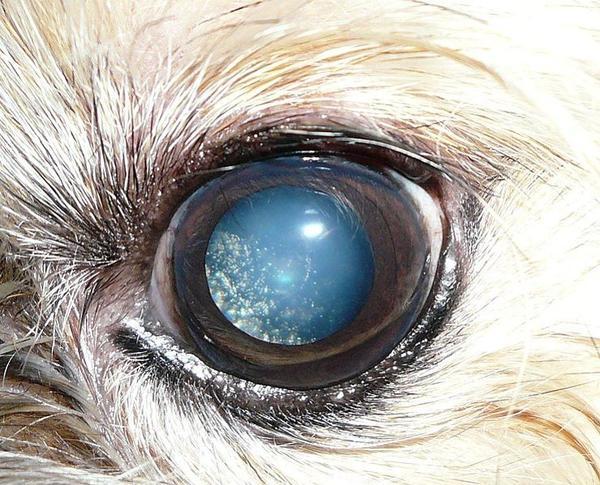 Un cas de hyalose astéroïde chez un chien, associé à une sclérose nucléaire (augmentation de la densité du cristallin).
