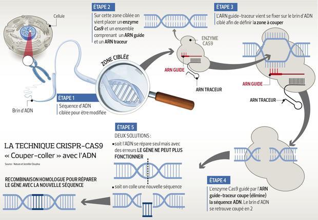 La technique Crispr-cas9 permet d'éditer l'ADN en modifiant des gènes.