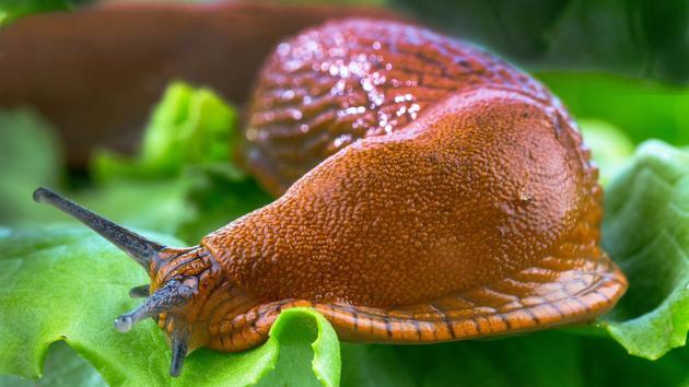 Et si la limace était la clé pour faire pousser les truffes?