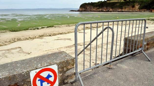 En Bretagne, les inexorables marées vertes