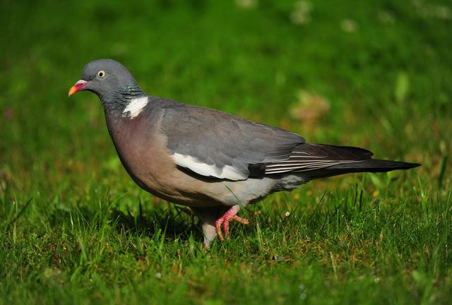 le maire a le pouvoir de chasser les pigeons. Black Bedroom Furniture Sets. Home Design Ideas