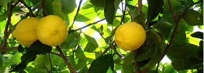 Citronnier, un agrume de plus en plus populaire