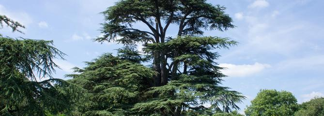 Cèdre du Liban, montagnard au port altier