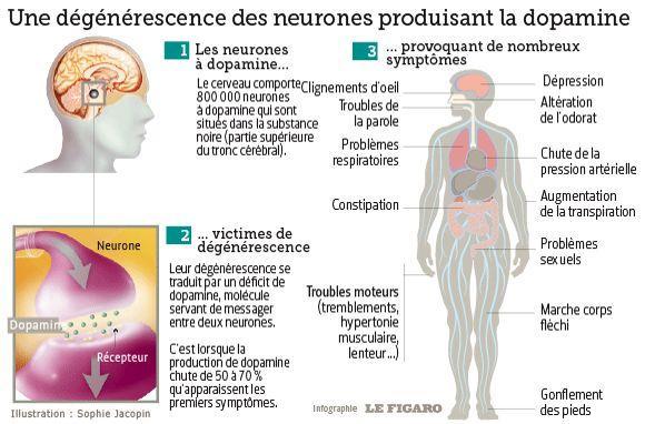 La maladie de Parkinson est liée à la destruction des neurones dopaminergiques.