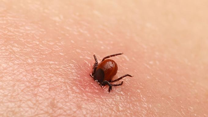 La tique est le deuxième vecteur de maladie dans le monde.