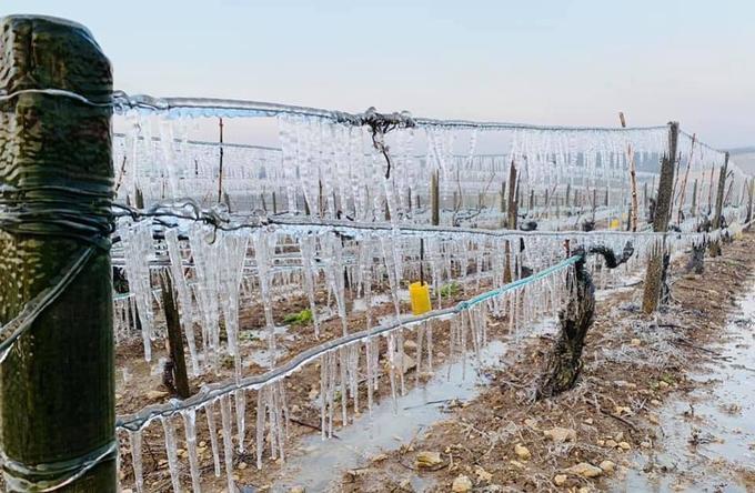 Les rangs de vigne gelés dans l'Yonne, en région Bourgogne.