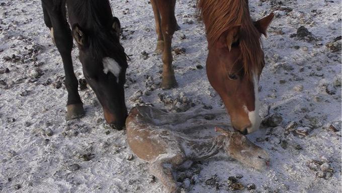 Au Canada, les poulains, laissés sous des températures glaciales, meurent de froid la plupart du temps.