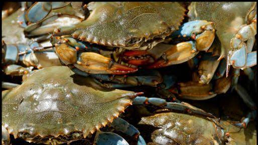 Le crabe bleu, spécialité du Maryland