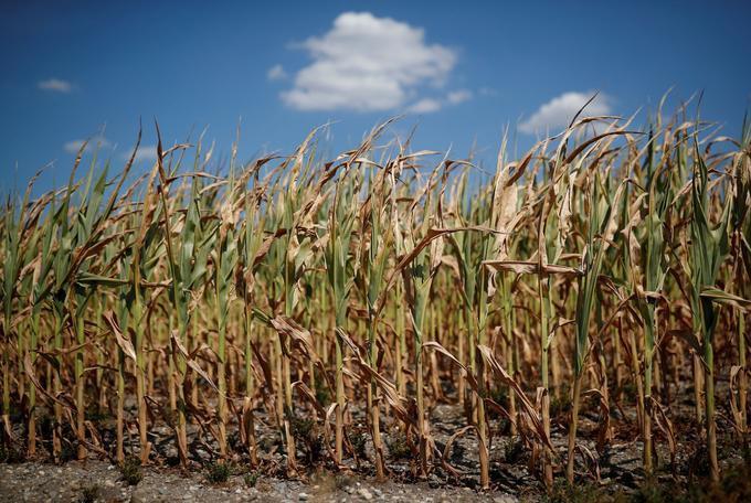 Les restrictions d'eau dans 73 départements limiteront le complément indispensable pour les plants de maïs. Ce qui aura probablement des conséquences «significatives» sur les rendements lors de la récolte à l'automne.