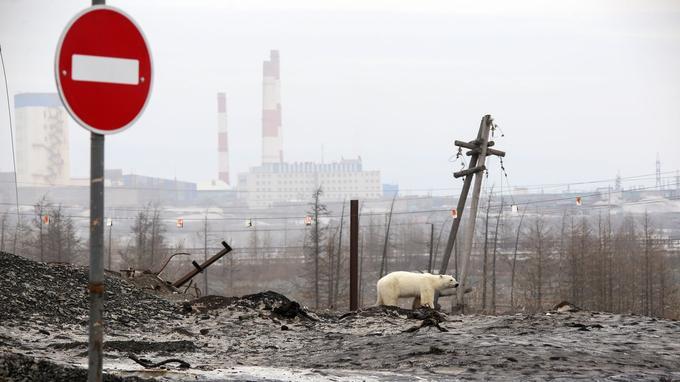 En juin 2019, la photographie d'un ours polaire dans les environs du site industriel de Norilsk (Russie) avait fait le tour du monde.