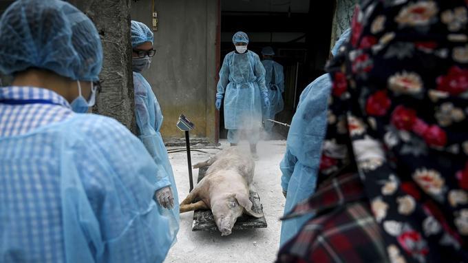 Peste porcine en Chine : au fait, de quoi parle-t-on et quels sont les risques ?