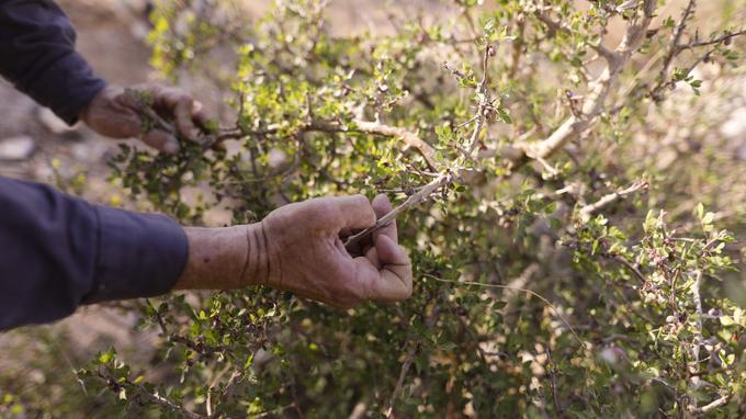 En Cisjordanie occupée, un fermier recrée les parfums portés par Cléopâtre ou les rois d'Israël