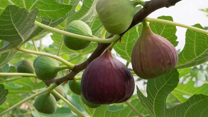 Ficus carica /'Violette Dauphine/' Figuier AUTOFERTILE