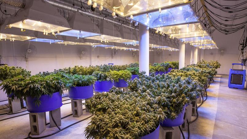 Plantation intérieure de cannabis à usage commercial.