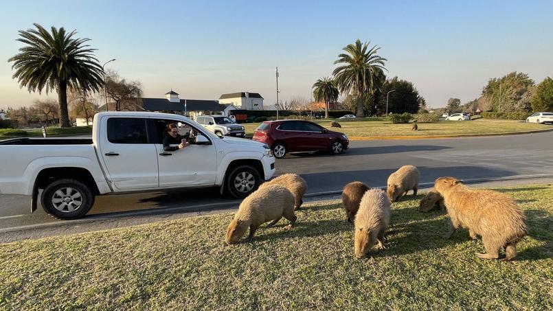 Le capybara est le plus gros rongeur du monde.
