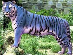 Photo d'un «tigre bleu» relayé sur Twitter.