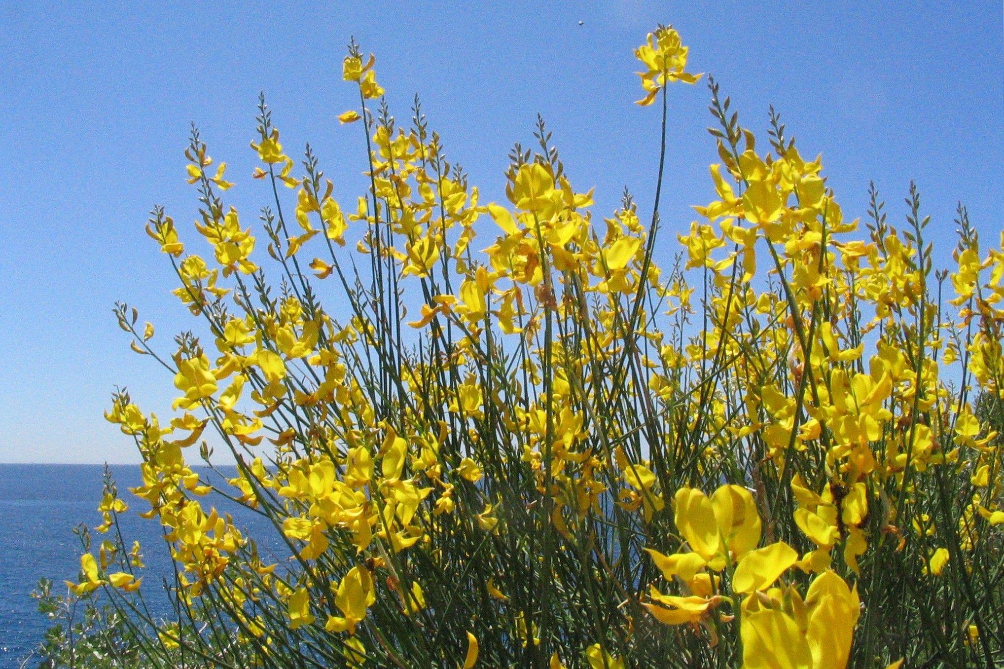 Plante Méditerranéenne Sans Arrosage genêt d'espagne, idéal pour les jardins sans arrosage