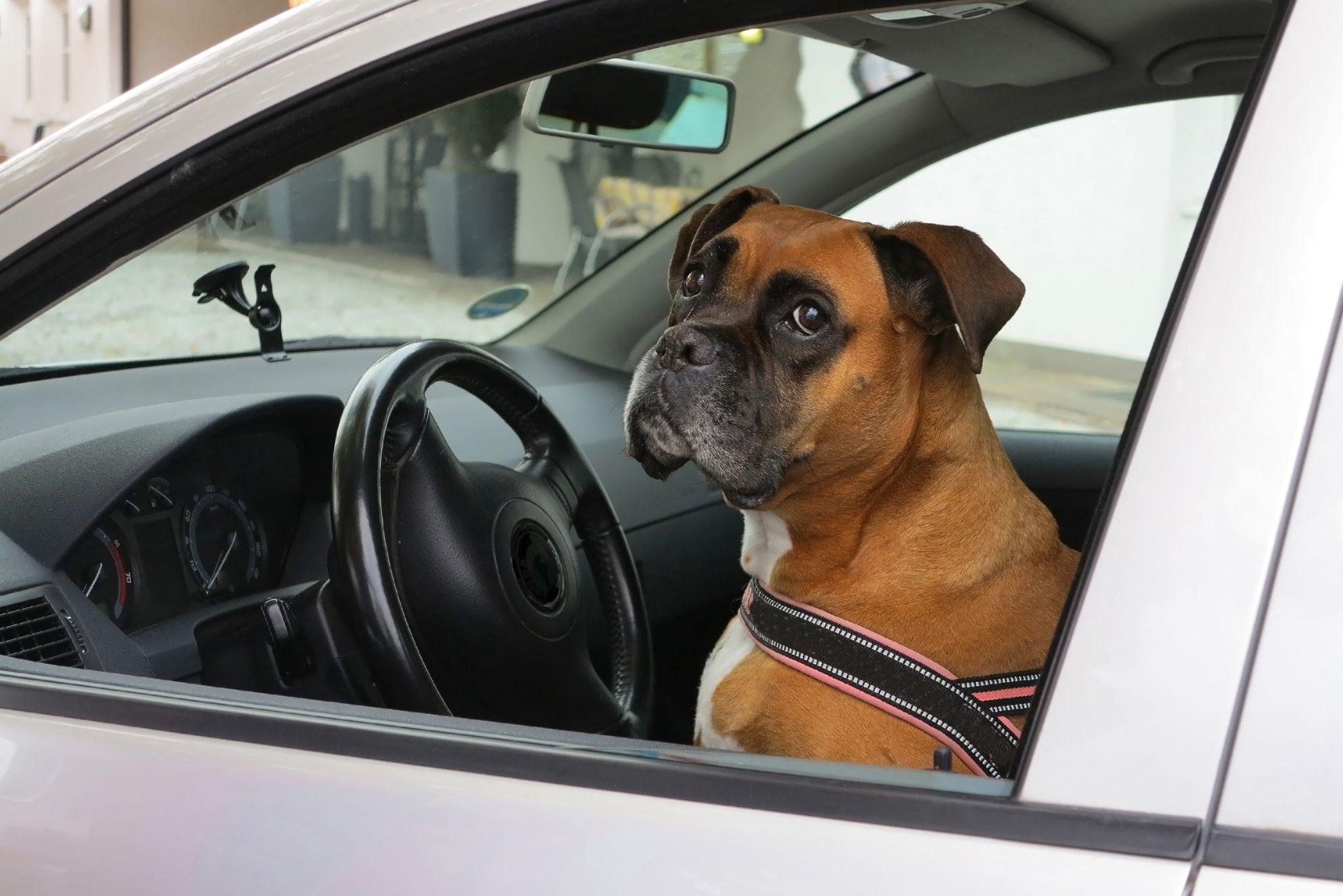 En voiture, un animal de compagnie est peut être dangereux