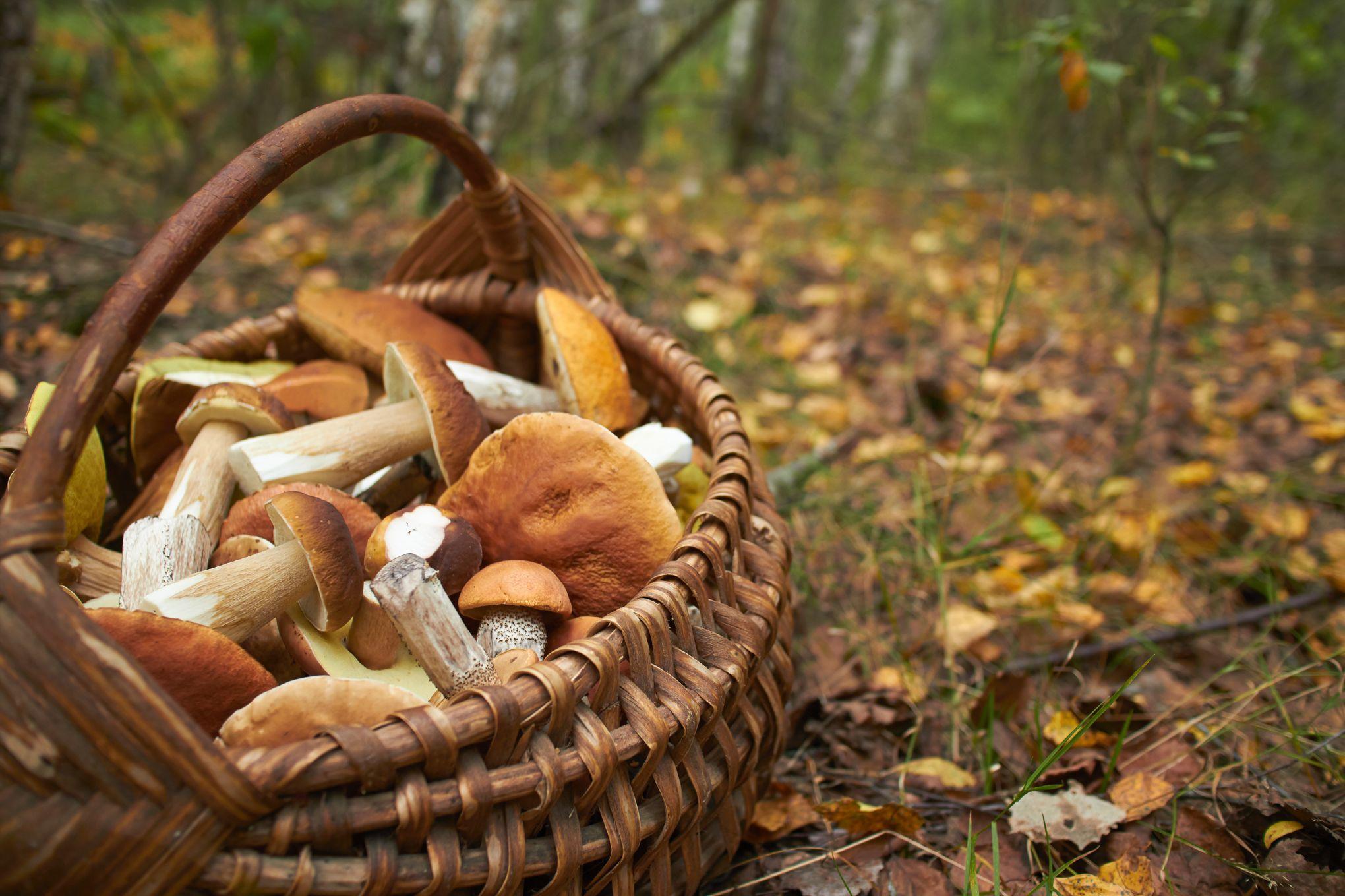 Attention aux intoxications avec des champignons non comestibles