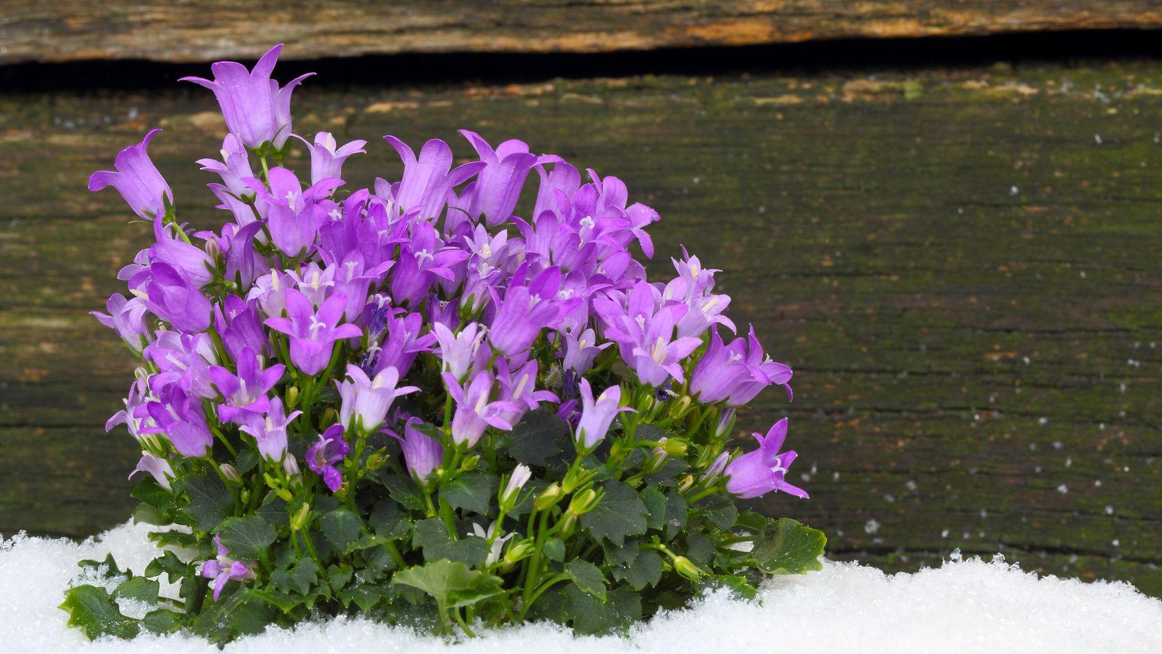 Couvre Sol Croissance Rapide désherber son jardin avec des fleurs