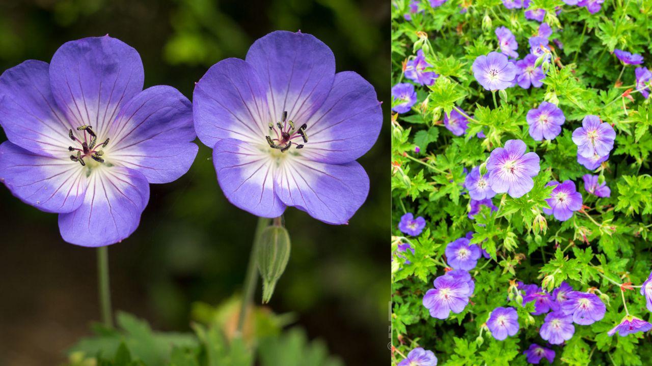 Fleur De Sous Bois Bleue désherber son jardin avec des fleurs