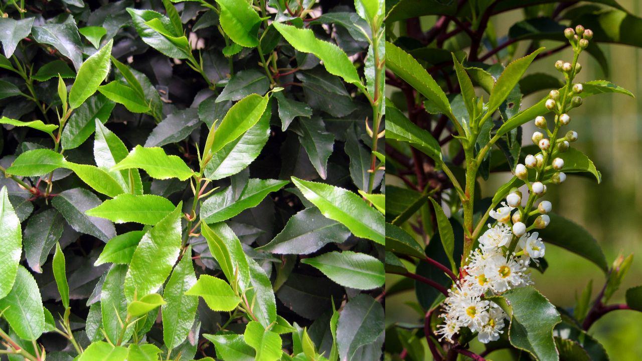 A Quelle Periode Tailler Les Lauriers laurier du portugal, des feuilles et des fleurs.