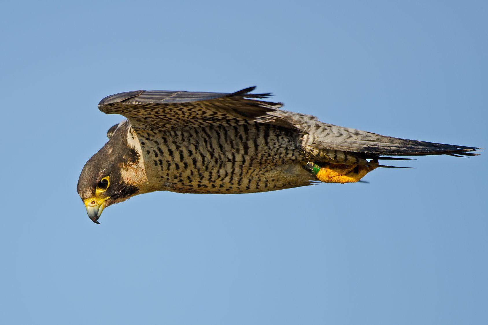 Pour protéger ses aéroports des drones, le Royaume-Uni veut s'inspirer des faucons pèlerins
