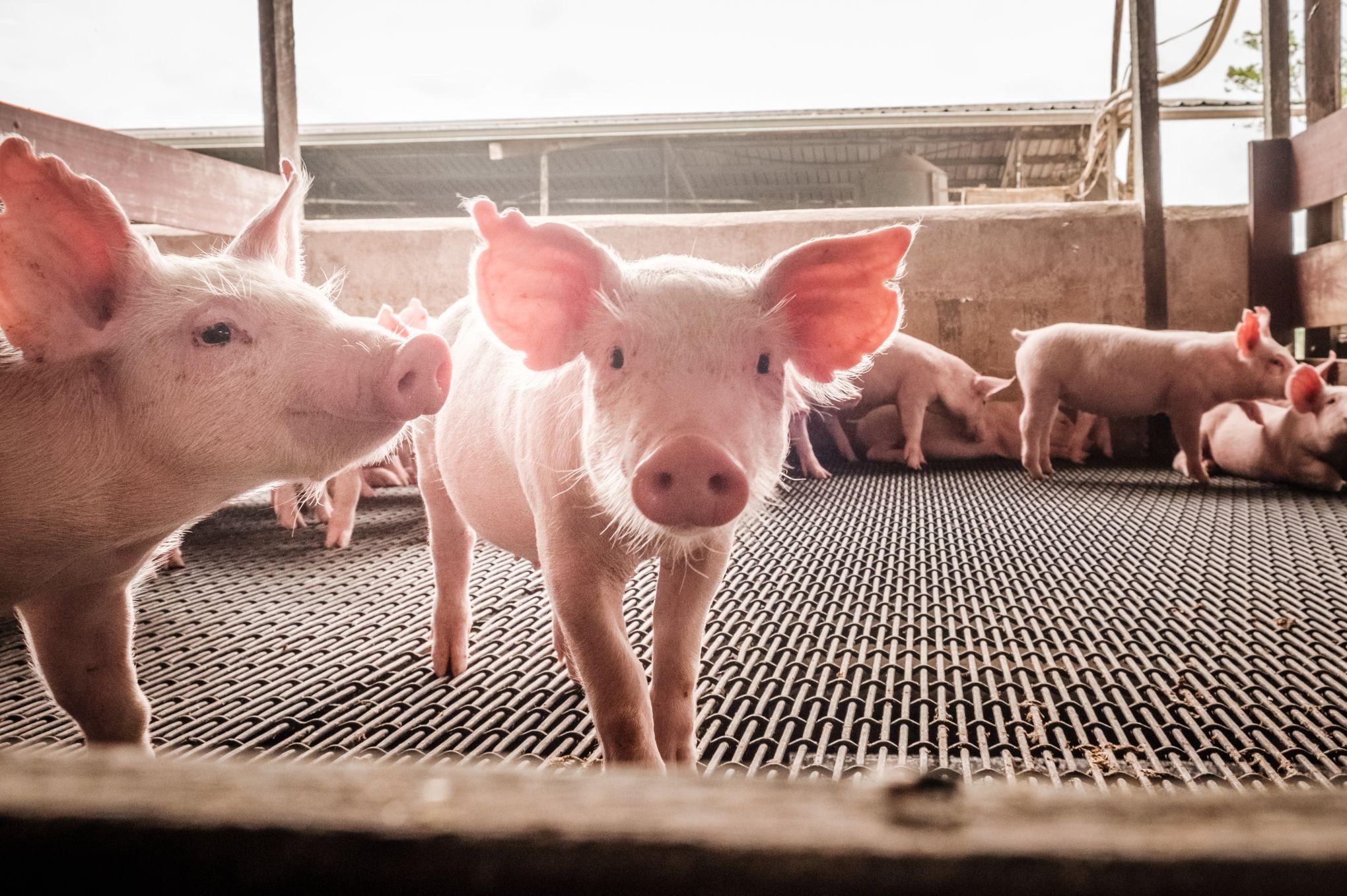 Antibiotiques: la difficile révolution du monde agricole