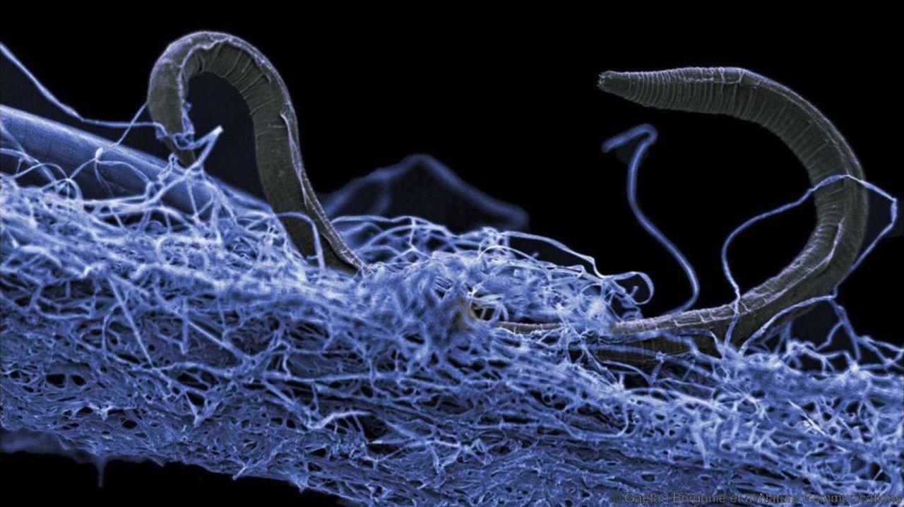 Les secrets du «ver démoniaque» découvert dans les entrailles de la Terre