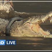 Ce crocodile a un pneu coincé autour du cour, l'Indonésie offre une récompense pour le libérer