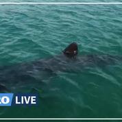 Dans la rade de Brest, un requin pèlerin profite de l'absence des humains