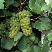 Reims a vendangé la plus ancienne vigne de raisins blancs de France