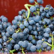 Des vendanges d'orfèvres au service du vin