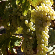 Vin: la récolte française revue en hausse, surtout pour le cognac